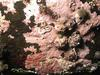Crust-forming red algae by Karsten Dahl